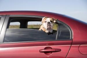 Der Hund wird auf dem Rücksitz des Autos transportiert