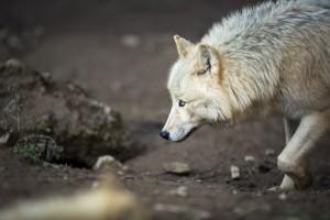 Wildunfall: Versicherung zahlt nur, wenn der Unfall auf wilde Tiere zurückgeführt werden kann.