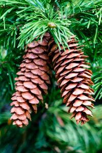 Weihnachtsbäume zum Selberschlagen können ein echter Familienspaß sein.
