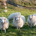 Nicht selten auf dem Land. Schafe auf der Straße, die einen Unfall in Irland verursachen.