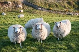 Nicht selten auf dem Land: Schafe auf der Straße, die einen Unfall in Irland verursachen.