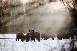 Vor allem in Waldschneisen kommt es vor, dass Wild beim Wechsel der Straßenseite erwischt wird.