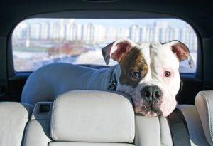 Wird ein Hund ohne Sicherung im Auto mitgenommen, kann er schnell zur Gefahr werden.