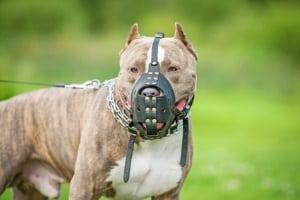 In Dänemark gelten strenge Regeln für als gefährlich geltende Hunde.